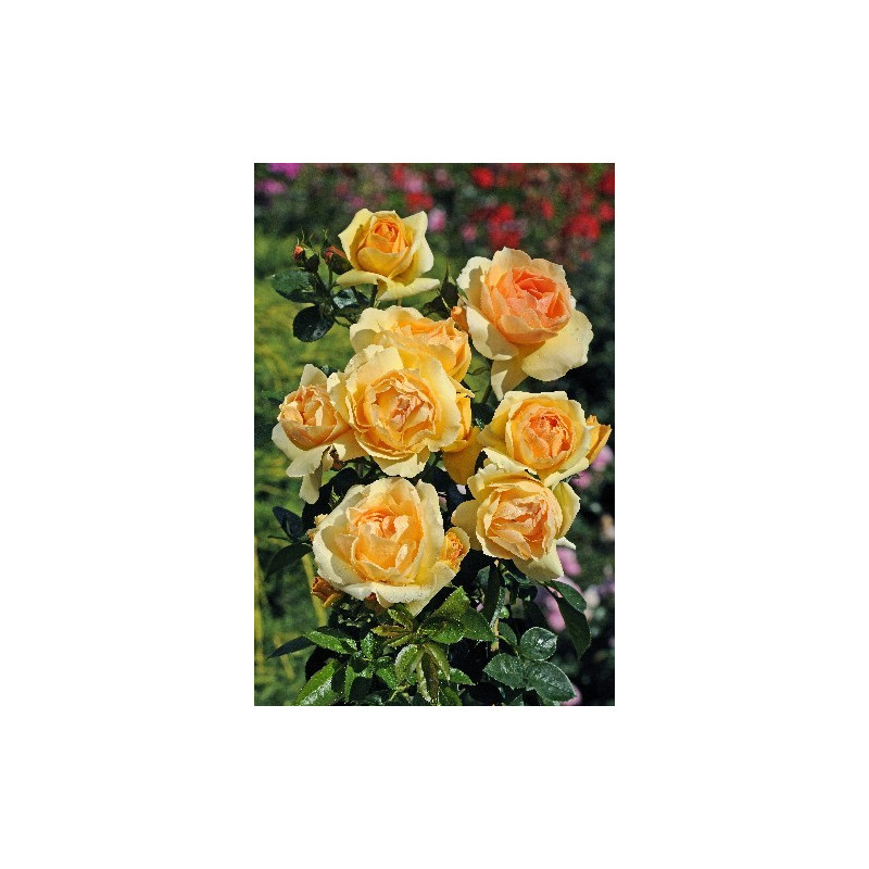 Rosier MYTHIQUE ® Tan 04603