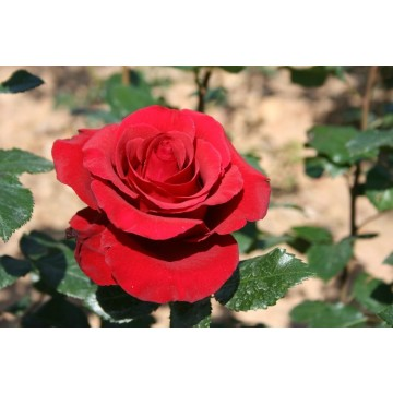 Rose NEFERTITI ® Dorfarou