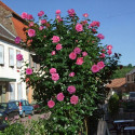 Rosa PARFUM ROYAL GPT ® Nirparf
