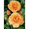 Rose RIKITA ® Tan 96205