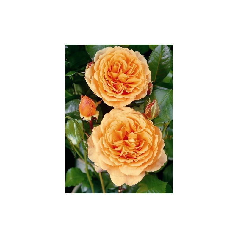 Rosa RIKITA ® Tan 96205