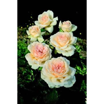 Rose SWEET LOVE ® Harmisty