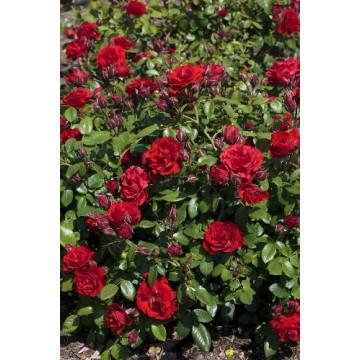 Rose TILT SYMPHONIE ®...