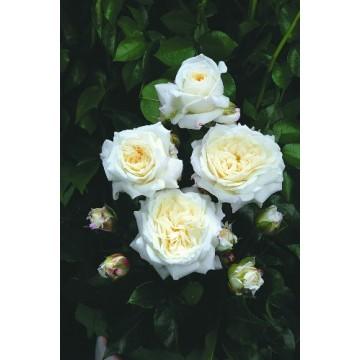 TALLO de rosal de 100 cm de CHAMPOLLION ® Tan02226
