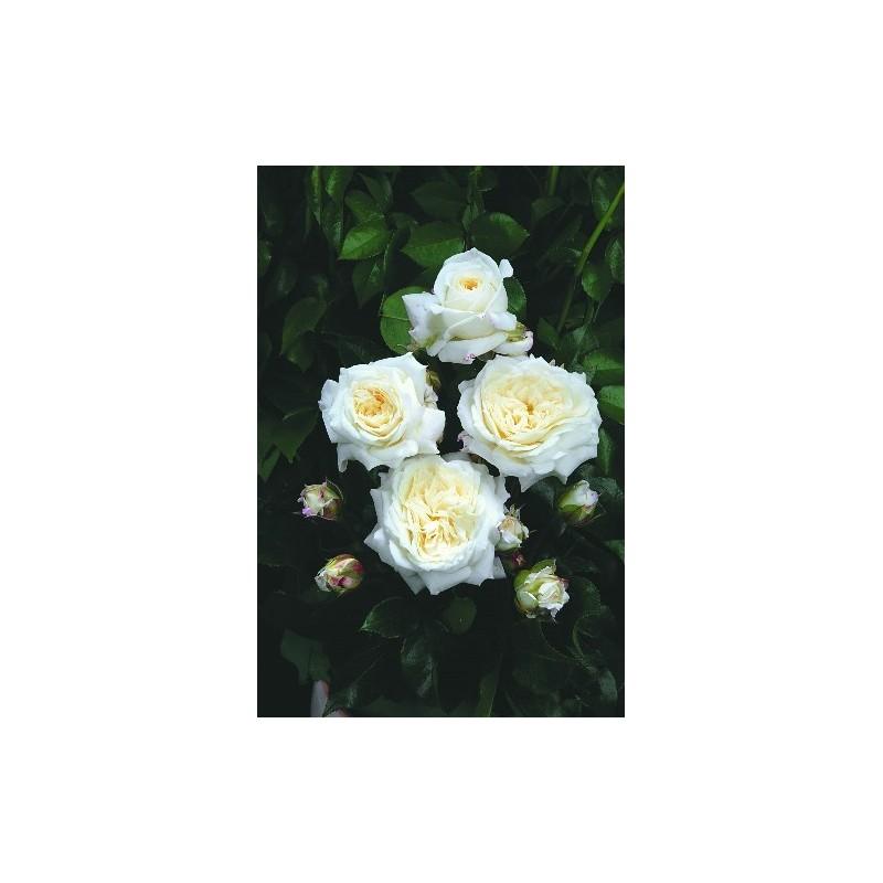 Rosier TIGE 100 cm CHAMPOLLION ® Tan02226