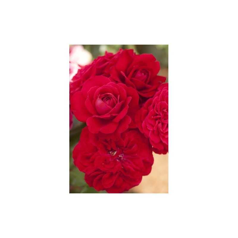 Rose STEM 100 cm MONA LISA ® Meilyxir