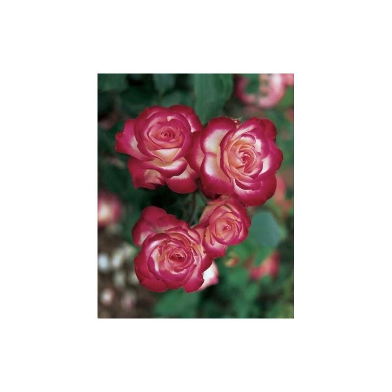 Arbusto de rosas Pequeña VARILLA de 70-80 cm de JUBILE DU PRÍNCIPE DE MÓNACO ® Meisponge