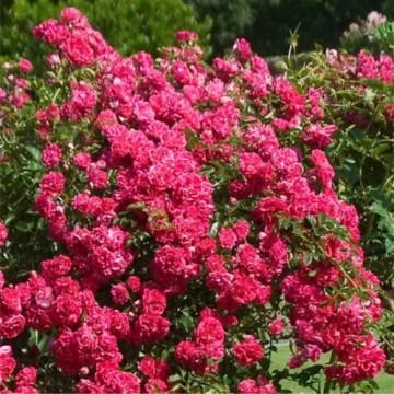 Rose Überhängend 140 cm SUPER EXCELSA