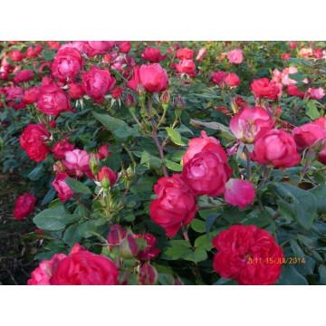 Rose CHERRY BONICA ®...