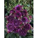Rose PÚRPLE LODGE ® Ora2437