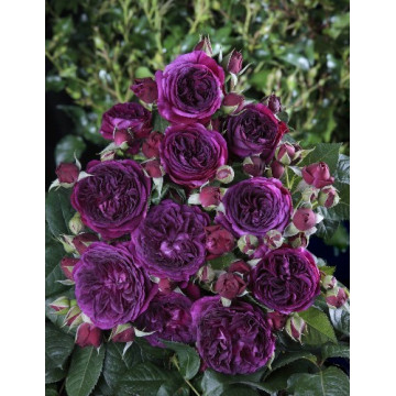 Rose PURPLE LODGE ® Ora2437