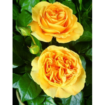 Rose BATACLAN ® Tan94488