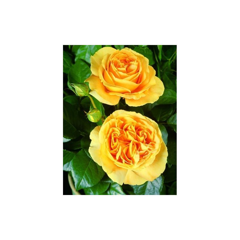 Rose BATACLAN ® Tan94488