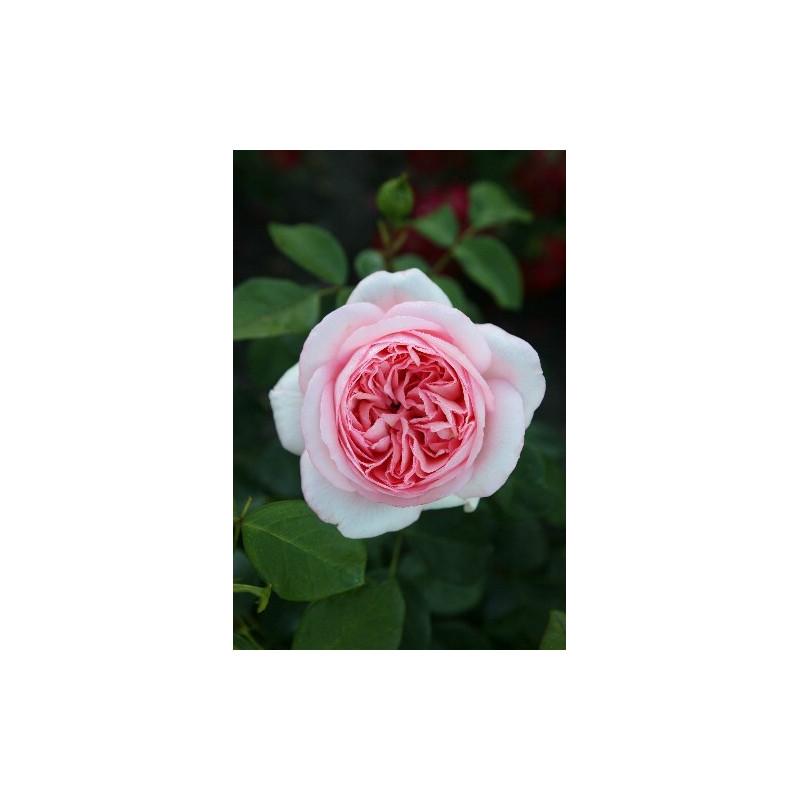 Rose BOBINO ® Tan04608