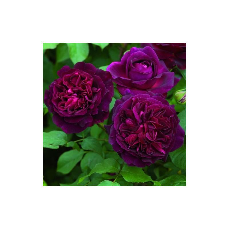 Rosa MUNSTEAD WOOD ® Ausbernard