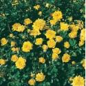 Arbusto de rosas Pequeña VARILLA de 70-80 cm BIJOU D'OR ® Tanledolg