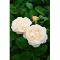 Rose STEM 100 cm WINCHESTER CATHEDRAL ® Auscat