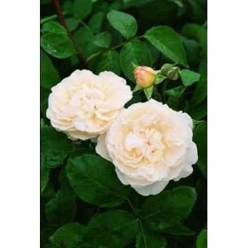 TALLO de rosal de 100 cm...