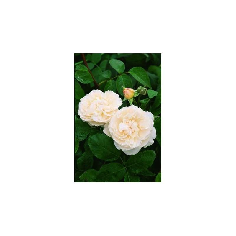 TALLO de rosal de 100 cm WINCHESTER CATHEDRAL ® Auscat