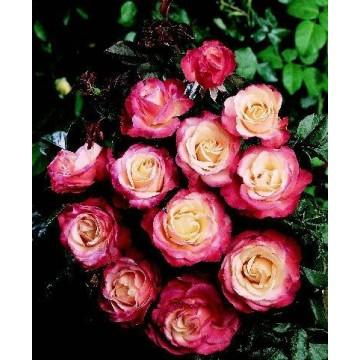TALLO de rosal de 100 cm de LA GARCONNE ® Taneiglat