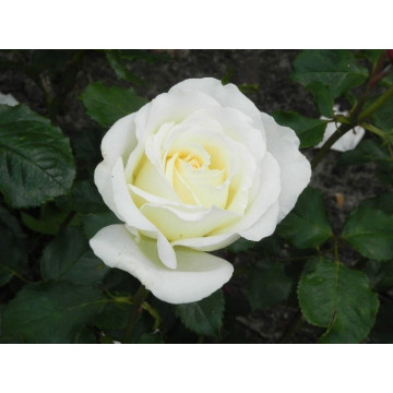Rose STIEL 100 cm IRINA BONDARENKO ® Tan 07117