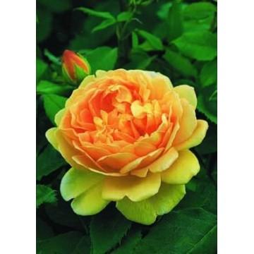 Rosa TIGE100 cm de GOLDEN...