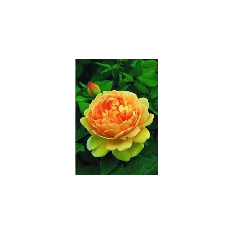 Rosa TIGE100 cm de GOLDEN CELEBRACIÓN ® Ausgold