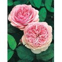 Rose STEM 100 cm GEOFF HAMILTON ® Ausham