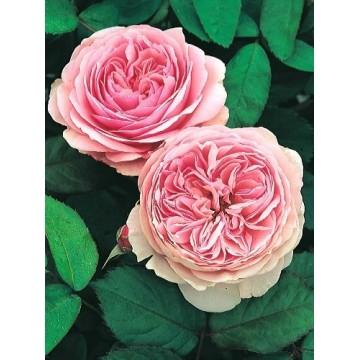 Rose STIEL 100 cm GEOFF...