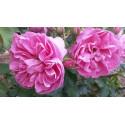 Rose ALLEGRO GP ® Meileodevin