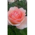 Rosa PRINCESSSE CHARLENE DE MÓNACO ® Meidysouk