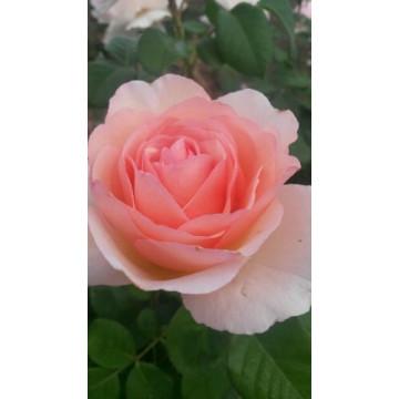 Rosa PRINCESSSE CHARLENE DE...