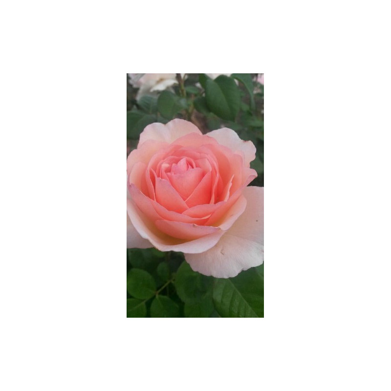 Rose PRINCESS CHARLENE DE MONACO ® Meidysouk