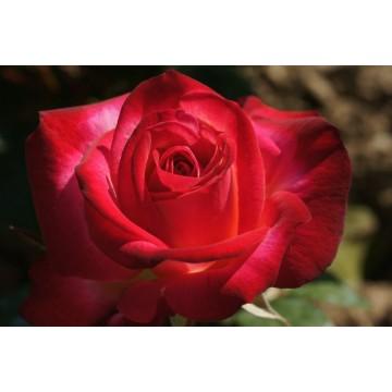 Rosa DJANGO REINHARDT ® Barolbcel