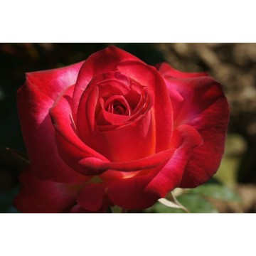 Rose DJANGO REINHARDT ® Barolbcel