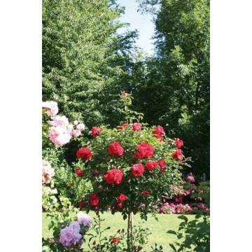 Rose Überhängend 120 cm...