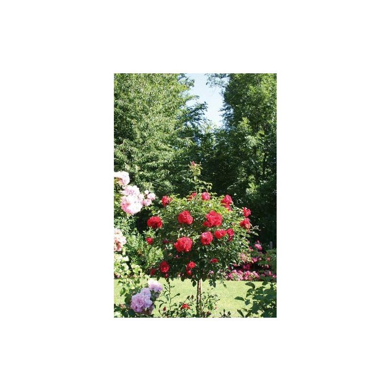Rose tree Weeping 120 cm KADORA ® Noatraum