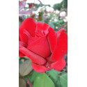 Rose JUBILE PAPA MEILLAND ® Meiceazar