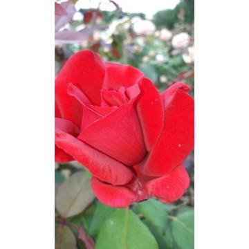 Rose JUBILEE PAPA MEILLAND...