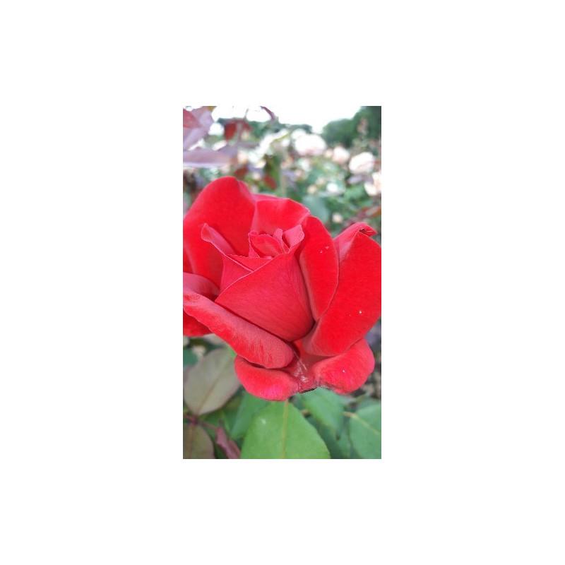 Rosier JUBILE PAPA MEILLAND ® Meiceazar