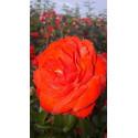Rosa SCARLET BONICA ® Meiscarlebo