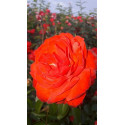 Rose SCARLET BONICA ® Meiscarlebo