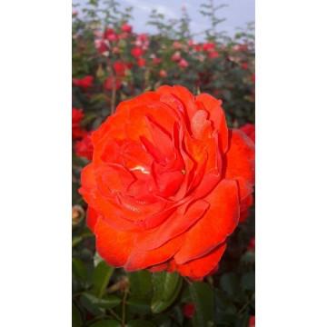 Rose SCARLET BONICA ®...