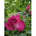 Rose HOT PINK ® Dorgevi