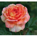 Rose LA ROSE DES IMPRESSIONISTES ® Adareviday