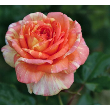 Rosa LA ROSE DES...