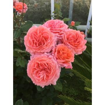 Rosa AMOUR DE MOLENE ®...