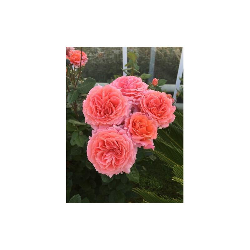 Rosa AMOUR DE MOLENE ® Adaruocal