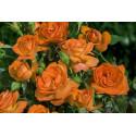 Rose GOOD MORNING ® Lapavi