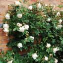 Rose CLAIRE AUSTIN ® Ausprior